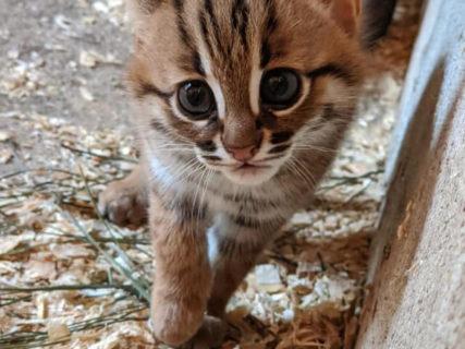 ロックダウン直前に生まれた命、手のひらサイズの猫「サビイロネコ」の赤ちゃんが英国で誕生
