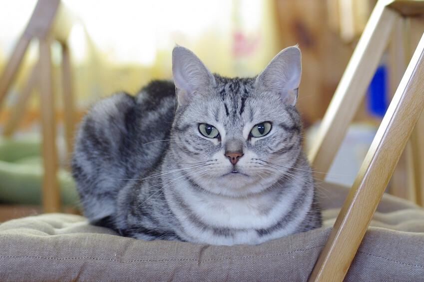 椅子に座ってカメラ目線を向けるアメリカンショートヘアのイメージ写真