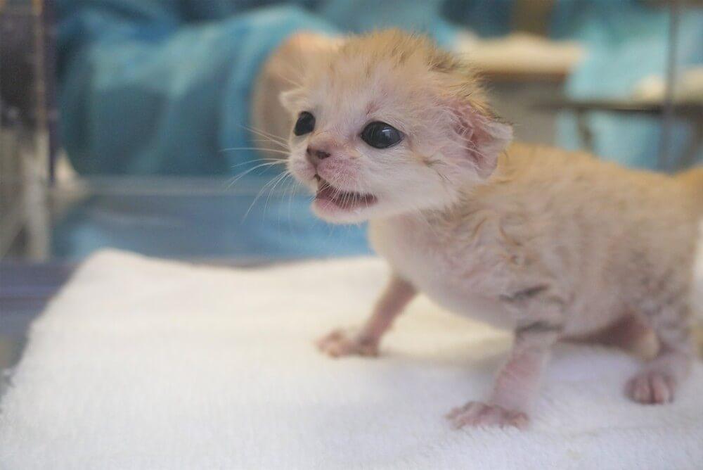 生まれたばかりのスナネコ(Sand cat)の赤ちゃん by 那須どうぶつ王国