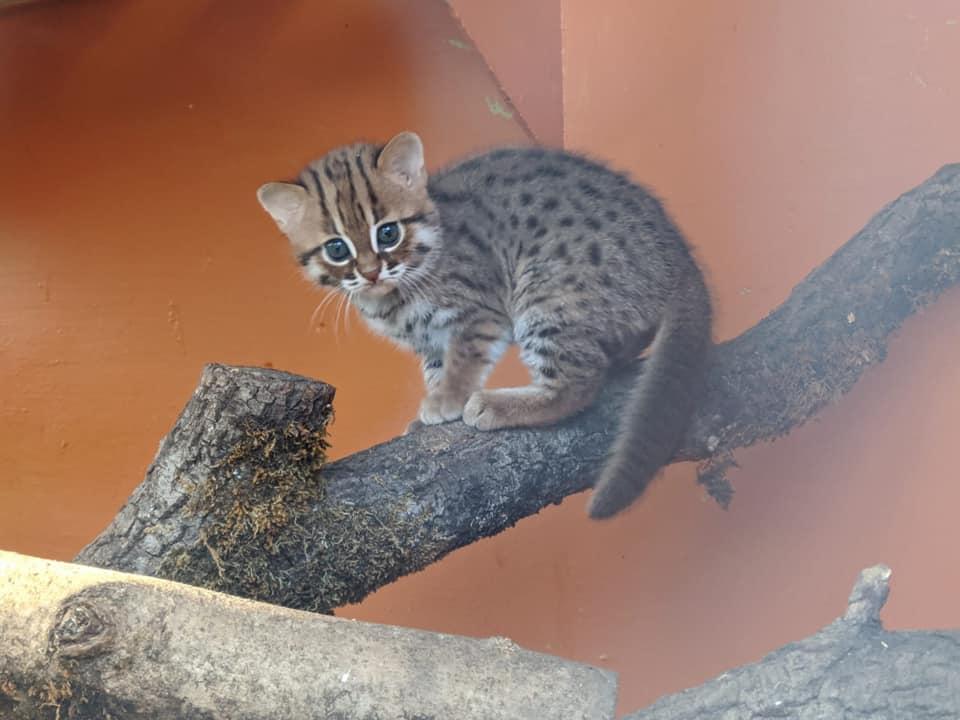 世界最小クラスの猫種、サビイロネコの赤ちゃん