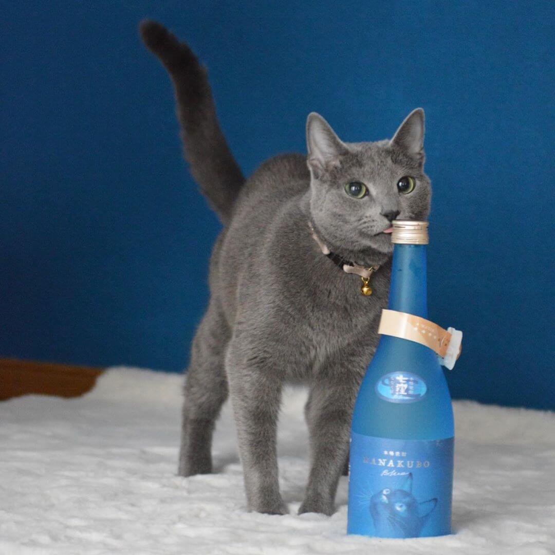 芋焼酎の酒瓶ボトルとグレー猫の写真 by NANAKUBO BLUE