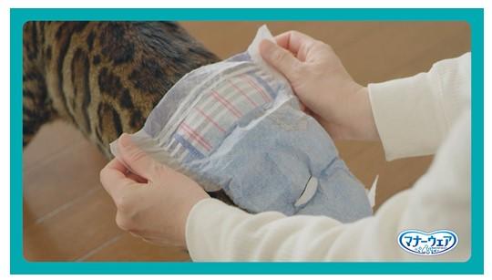 猫のお尻におむつを当てる様子 by マナーウェアねこ用
