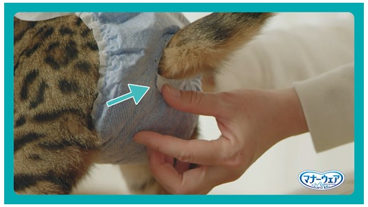おむつの穴に猫のしっぽを通す様子 by マナーウェアねこ用