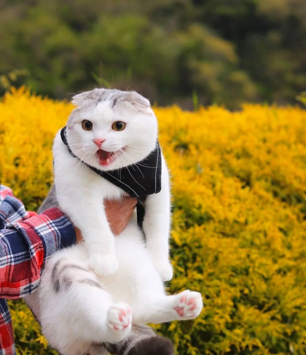 菜の花畑で抱っこされる猫