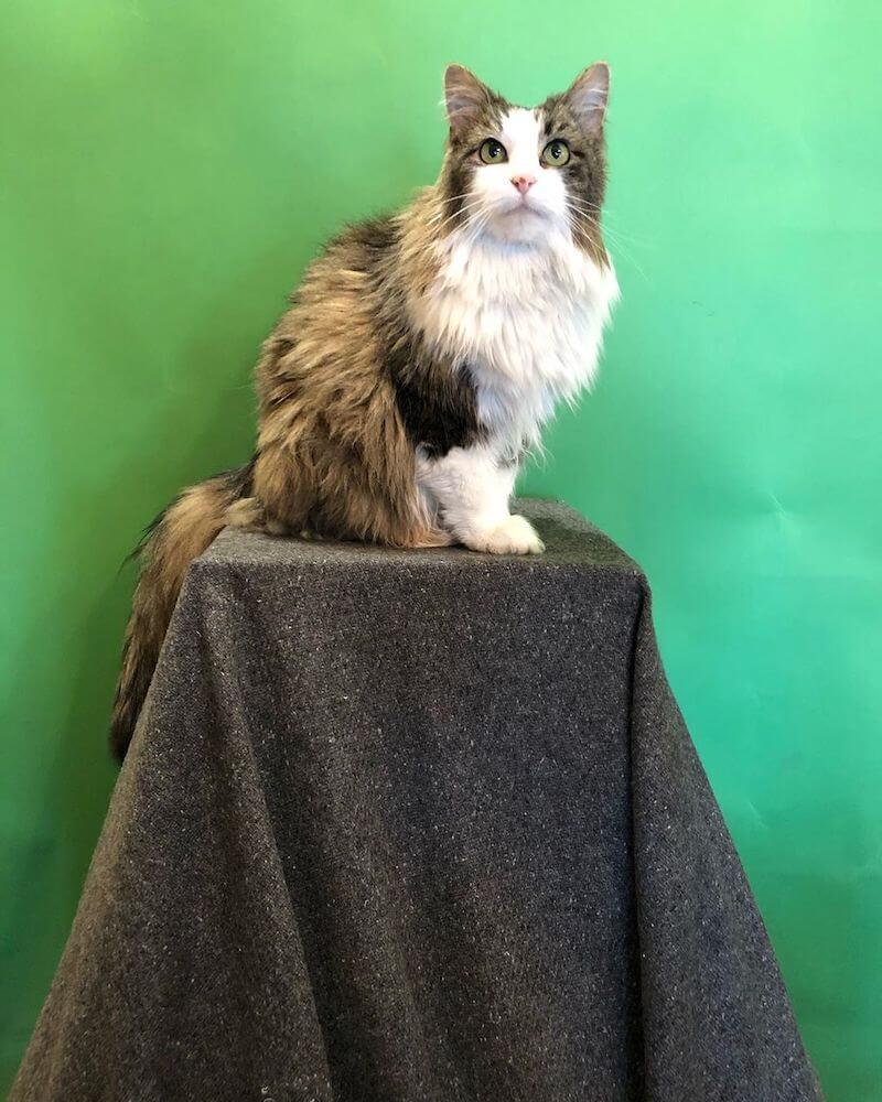 天気予報の番組に出演するため専用の台座に座る猫のベティ(Betty)