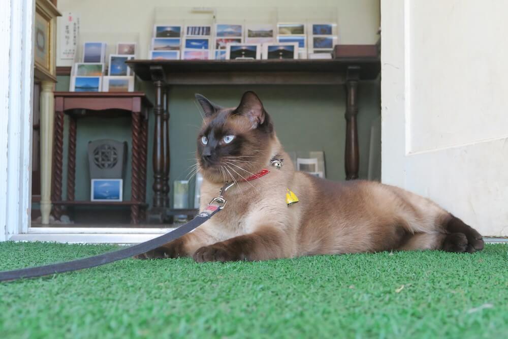 山中湖写真ギャラリーの看板猫「ルルちゃん」 by 旅猫ロマン