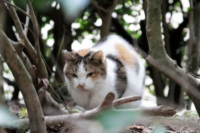 身をかがめる外で暮らす三毛猫のイメージ写真