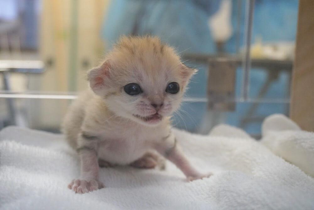 スナネコ(Sand cat)の赤ちゃんの正面写真イメージ by 那須どうぶつ王国