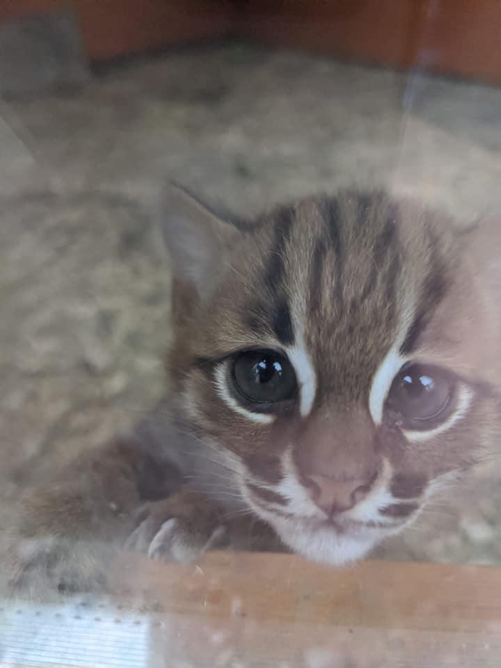サビイロネコ(Rusty-spotted cat)の赤ちゃん写真 by ポーフェル・ワイルドライフ・パーク(Porfell Wildlife Park )