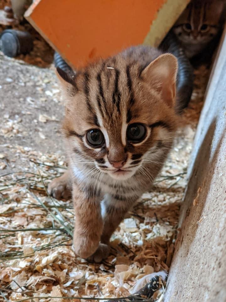 世界最小の猫種、サビイロネコの子猫写真
