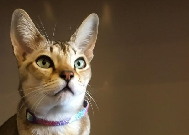 人気猫種アビシニアンのイメージ写真
