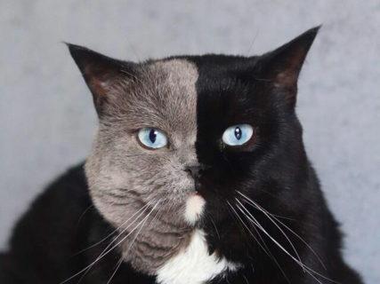 顔半分がグレーと黒の2色!激レアな模様をもつイギリス在住の猫「ナルニア」の魅力に迫る