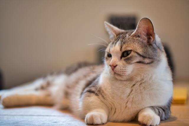 いい匂いがしそうな猫の毛並みイメージ