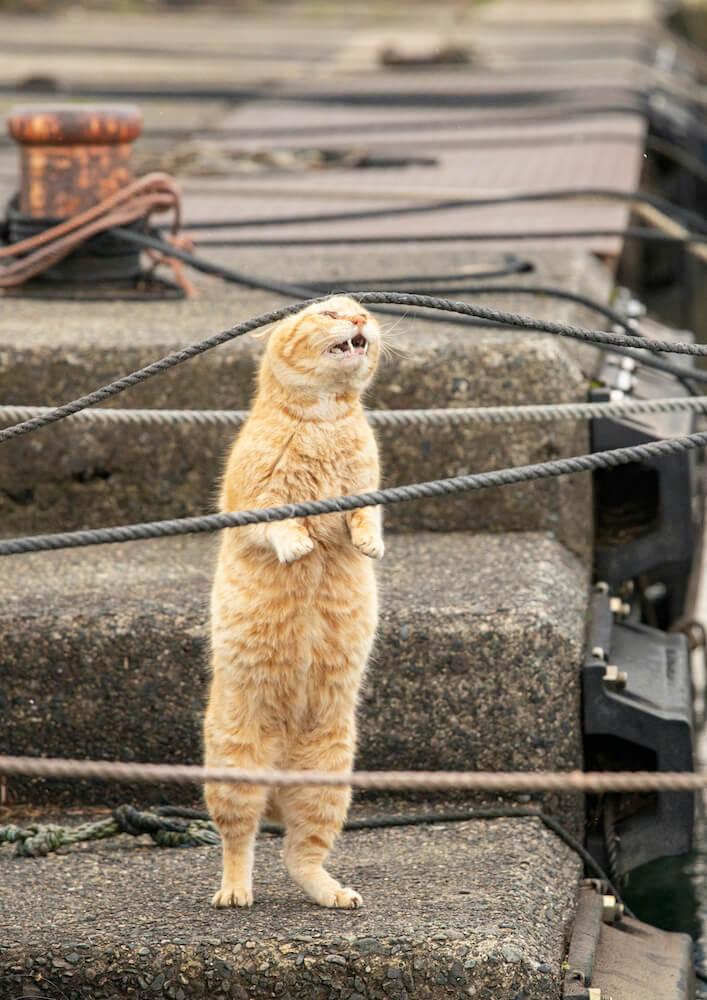 ロープに頭が引っかかった立ち姿の茶トラ猫 by ニャン都物語 mini