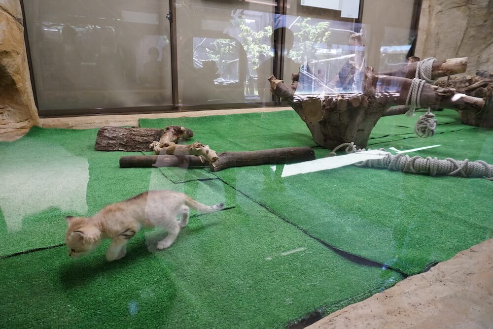 スナネコの赤ちゃんの展示風景 by 那須どうぶつ王国