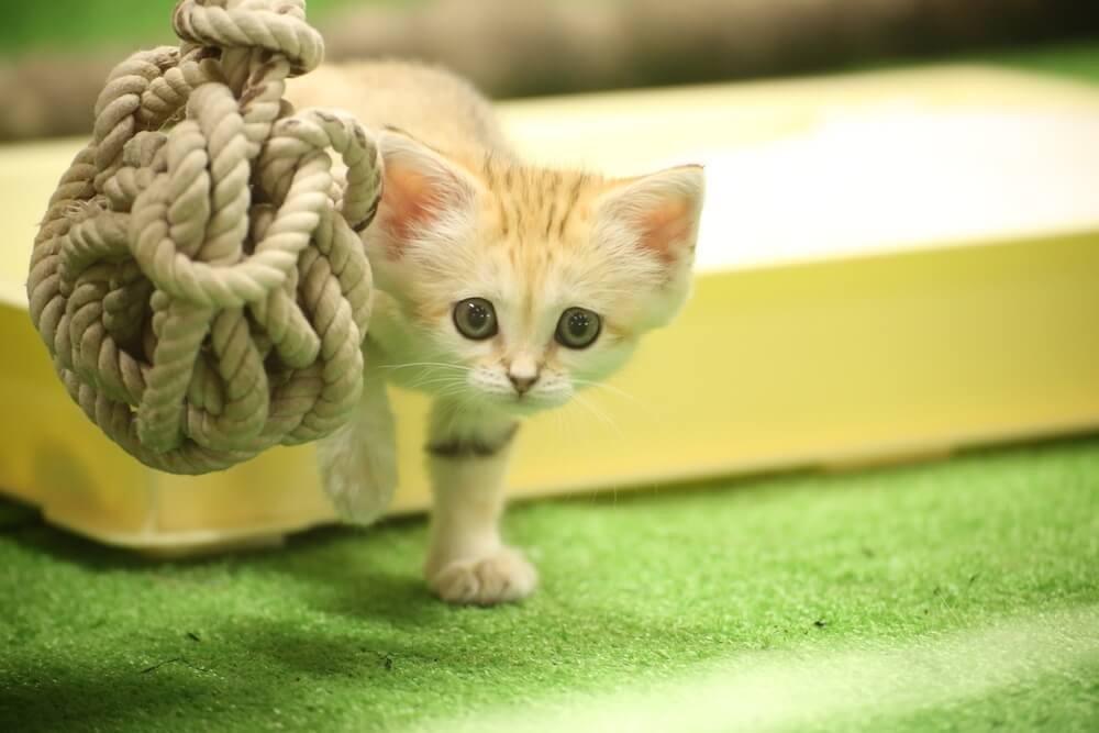 玩具のロープと生後6週間のスナネコの赤ちゃん by 那須どうぶつ王国