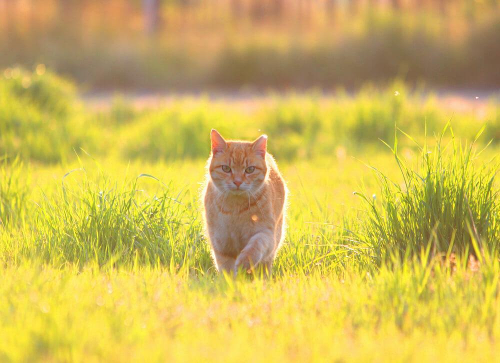 日光を浴びて神々しい姿で歩く茶トラ猫 by ニャン都物語 mini