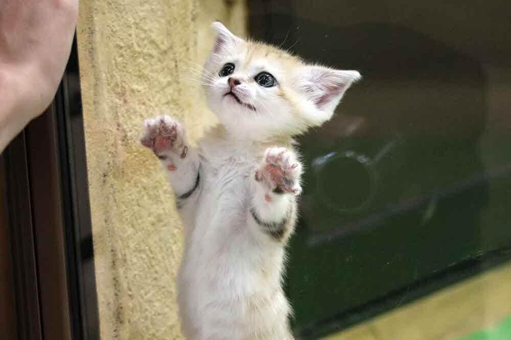 ガラス越しに立ち上がる生後6週間のスナネコの赤ちゃん by 那須どうぶつ王国