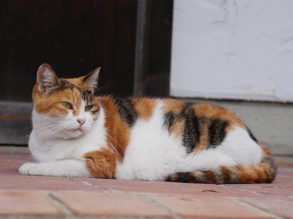 旅猫ロマン 第60話「美しい日本」に登場する三毛猫