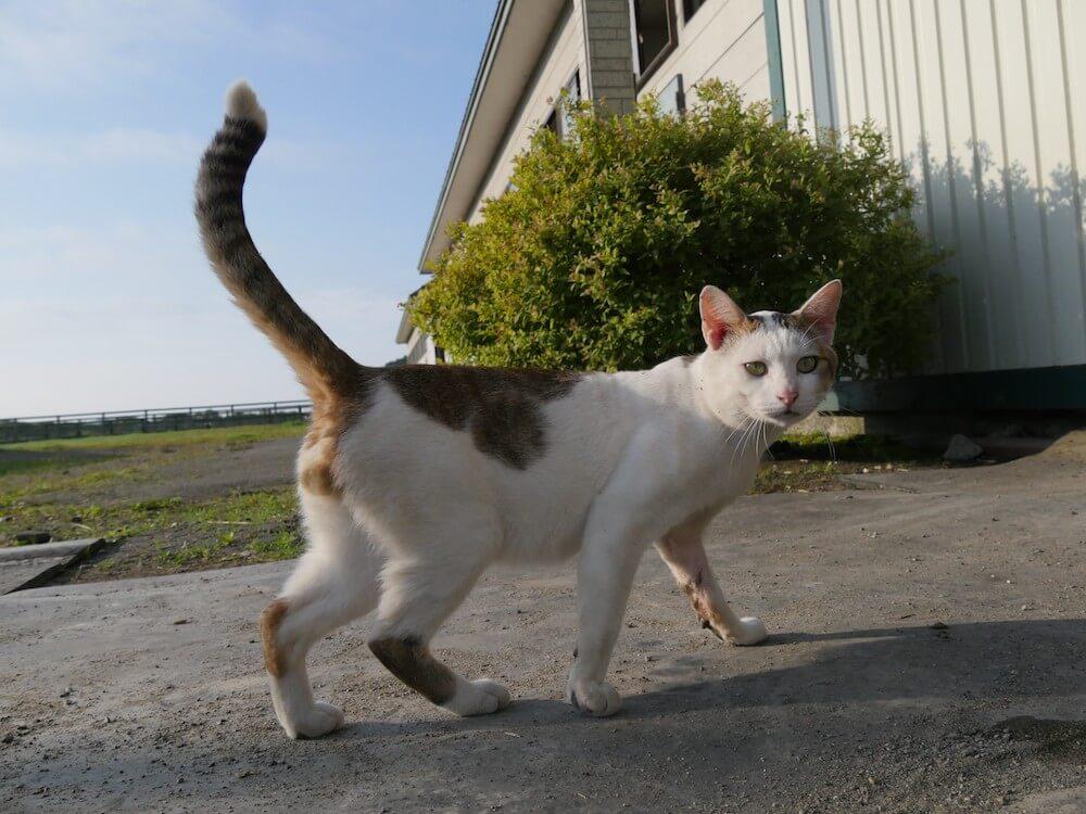 旅猫ロマン 第60話「美しい日本」に登場するキジ白猫