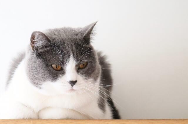 すまし顔で腕を組むグレー白猫のイメージ写真