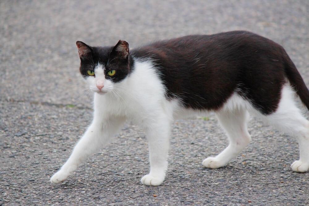 外を歩く黒白猫のイメージ写真