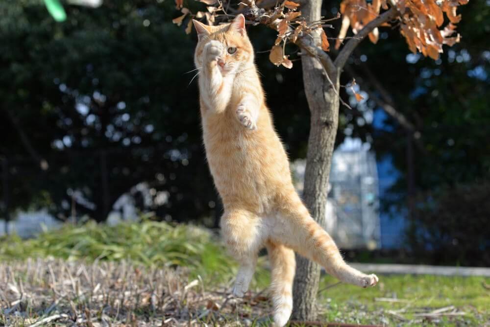 空手のような構えをしながらジャンプする茶トラ猫