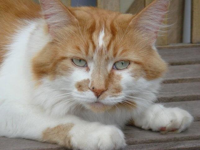 31歳(人間年齢に換算すると150歳)で現役最高齢の猫だったメインクーンの「ラブル(Rubble)」