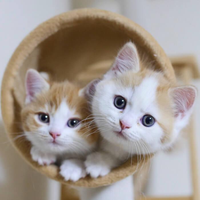 マンチカンズの猫写真