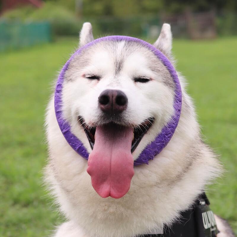 舌を出した愛くるしい犬の写真 by いぬにすと展