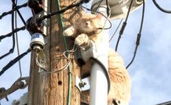 カナダでも電柱の上で立ち往生する猫が現れる!救出劇が繰り広げられるも日本とは異なる結末に