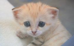 今度はニャンと3姉妹!スナネコの赤ちゃんが再び誕生&ミルクを飲んでいる激かわ映像も公開