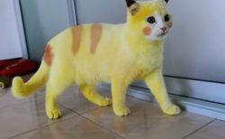まるでピカチュウ猫…!?飼い主さんの意外な行動で黄色に染まってしまったタイの猫が話題に
