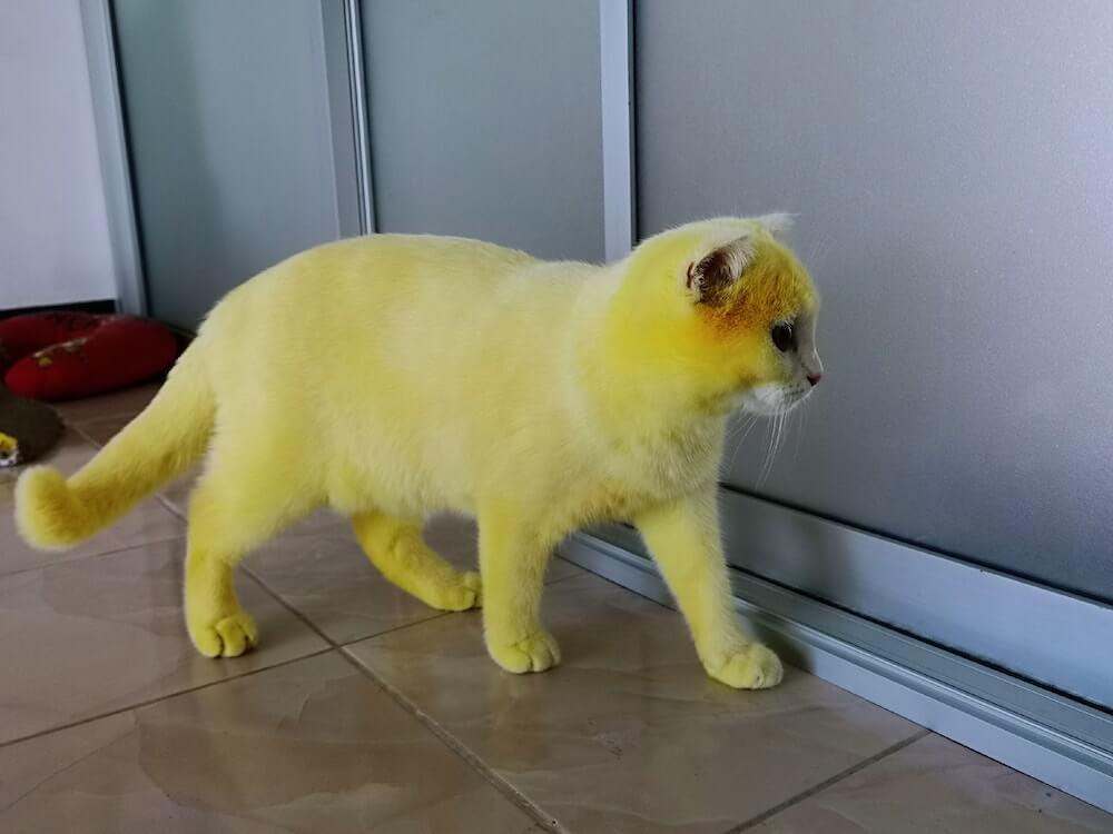 ターメリックで全身の毛を黄色に染められてしまったタイの猫、Ka-Pwong(カプウォン)