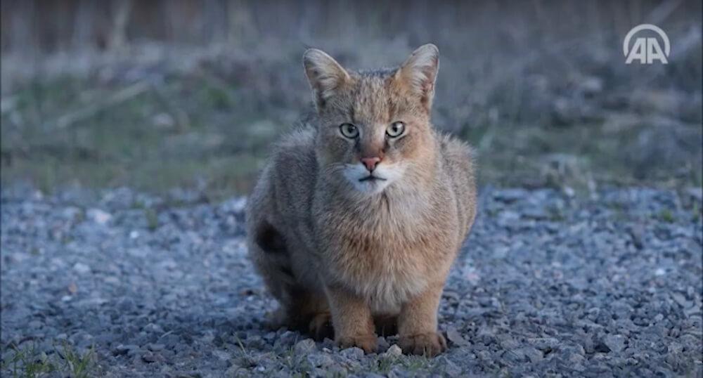 野生のジャングルキャット(jungle cat、Swamp Lynx、Felis chaus)の真正面&近距離写真 in トルコ