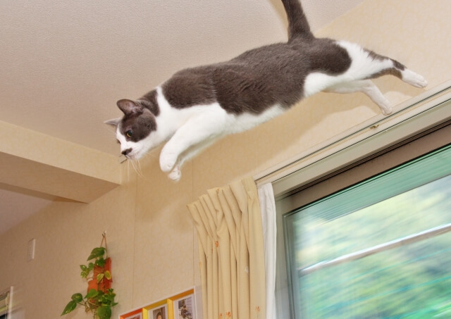 想定外の行動をとる猫のイメージ写真(カーテンレールからジャンプして飛び降りる猫)