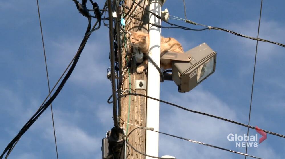 電柱に引っ掛かって降りられない猫 in カナダ アルバータ州 カルガリー