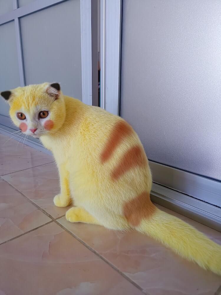 ターメリックでピカチュウのように全身の毛を黄色に染められたタイの猫「Ka-Pwong(カプウォン)」