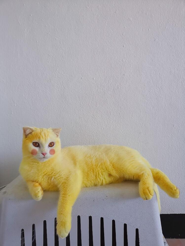 全身が黄色になってしまった猫のKa-Pwong(カプウォン)、ほっぺ加工バージョン
