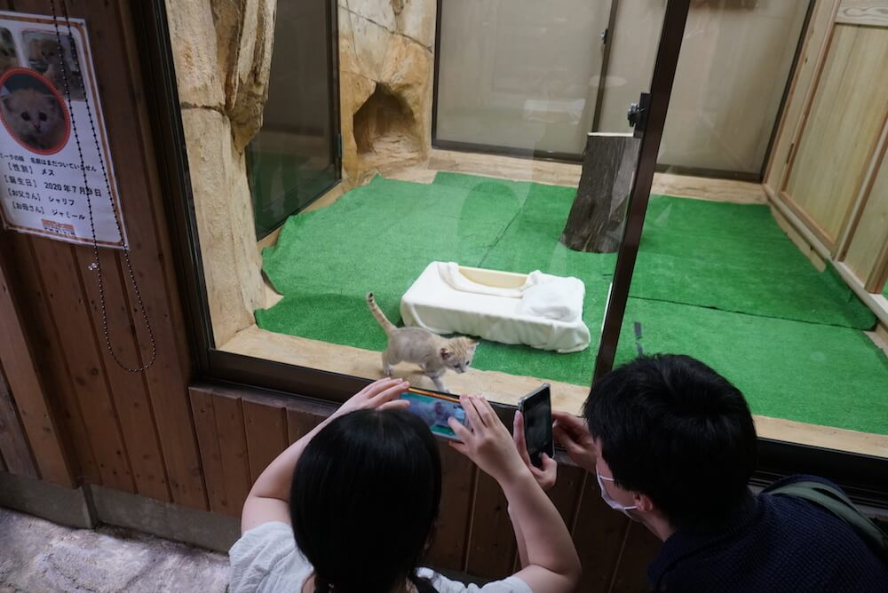 スナネコの赤ちゃんを撮影する来園者の様子 by 那須どうぶつ王国