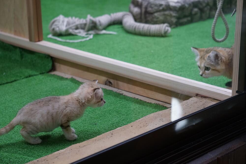 ガラス越しに姉ネコと対面するのスナネコの赤ちゃん by 那須どうぶつ王国