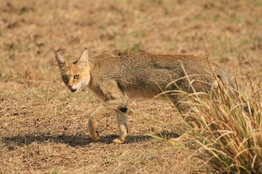 ジャングルキャット(jungle cat、Swamp Lynx、Felis chaus)のイメージ写真