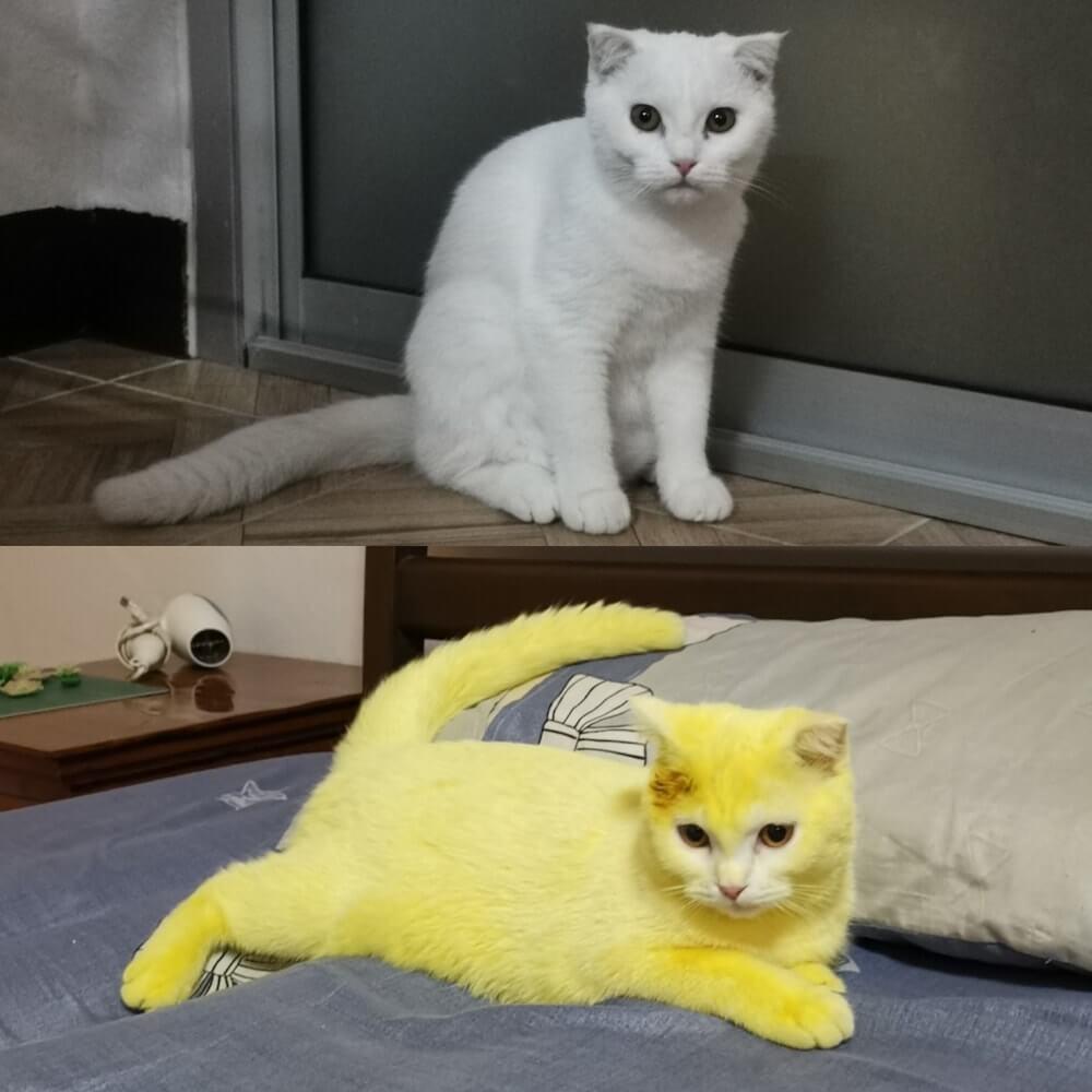 白猫のKa-Pwong(カプウォン)が黄色に染まったビフォーアフターの写真