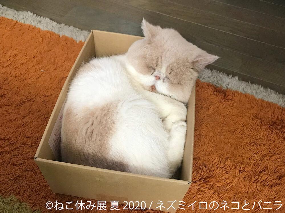 目の場所が分からないような表情で箱に収まって眠る猫