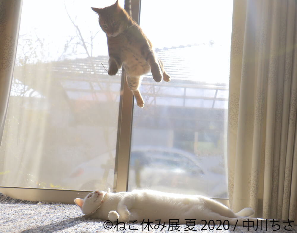 仰向けの猫の上からジャンプして飛びかかる猫