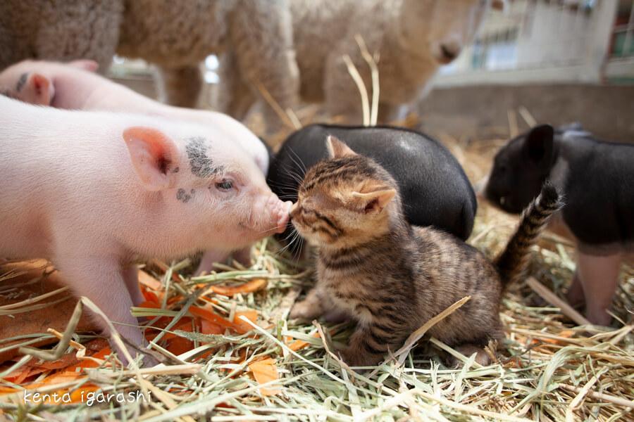 豚と猫(スエトシ牧場)by 五十嵐健太