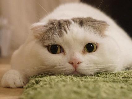 無防備な寝姿が人気の「ぐでねこ ライくん」が初登場!ねこ休み展が8月21日から東京で開催
