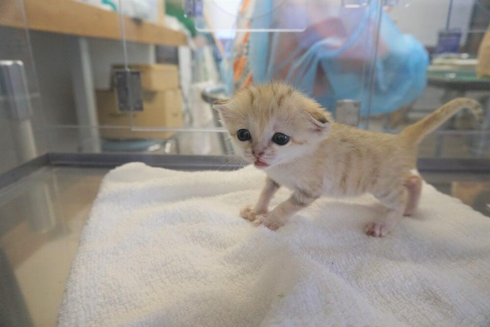 哺育器ので過ごすスナネコの赤ちゃん by 那須どうぶつ王国