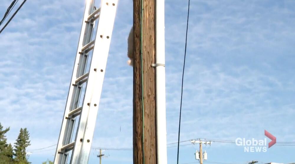 自分で電柱を降りる猫 in カナダ