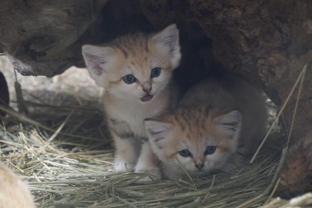 巣箱の中から出てこれないスナネコの赤ちゃん姉妹